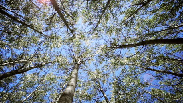 Looking up through swaying trees video