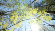 Looking up under the canopy of a rowan bush. Spring video