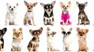 Loopable animation of chihuahuas pictures scrolling video