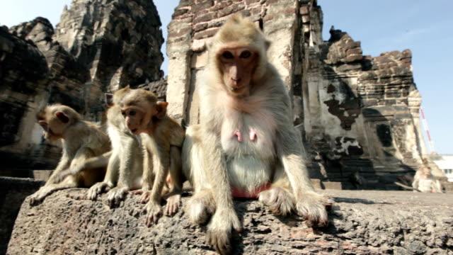 Lopburi, Thailand, the city of free monkeys video