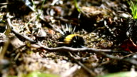 Lophocampa maculata video