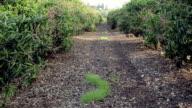 Loquat garden video
