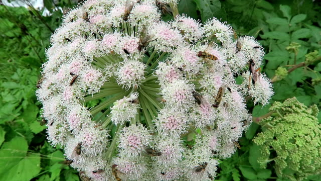 lot of insects on a wild angelica plant (Angelica sylvestris). video