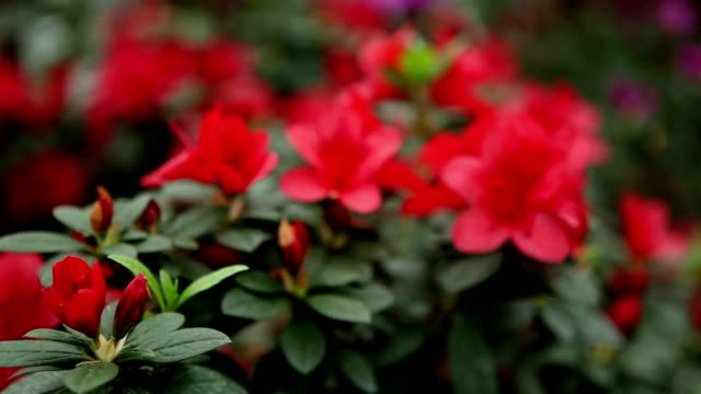 Lot of Red Azalea Flowers on Branches of Its Bushes Focus Change video