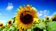 Lot of sunflowers in the sunny day video