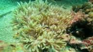 Lots of Anemone Shrimp live symbiotically with sea anemone video