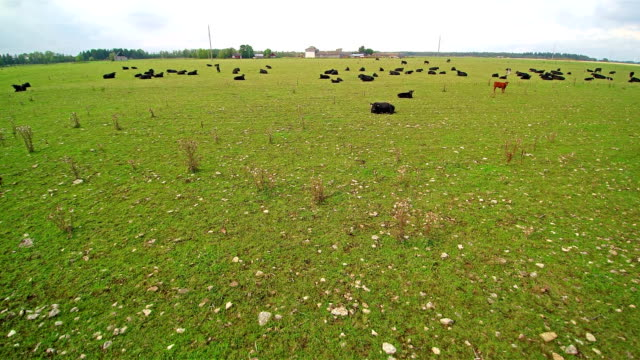 Lots of black cows on the grass field video