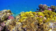 Lots of colorful fishes at Coral reef on Red Sea video