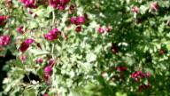 Lots of Crataegus fruits bloomed on the spring FS700 4K video