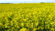 Lots of rapeseed plant in the rape field video