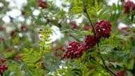 Lots of Sorbus fruits on the European Rowan tree FS700 4K video