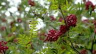 Lots of Sorbus fruits on the European Rowan tree video