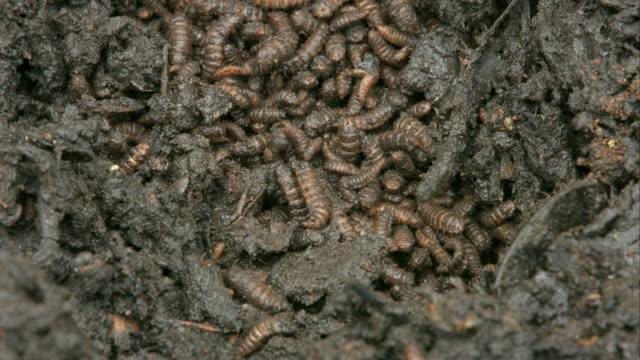 Lots of worms in fertile soil. video