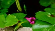 Lotus blooming video