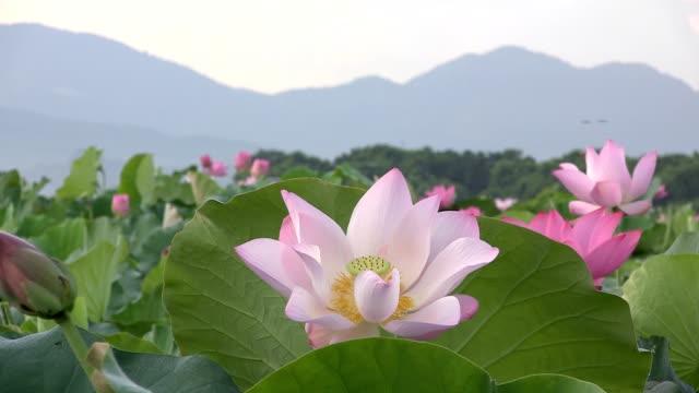Lotus blossoms video