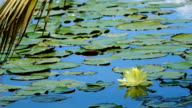 Lotus flower against the wind in pond and coconut leaf video