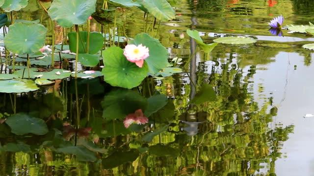 Lotus flower against the wind in pond video