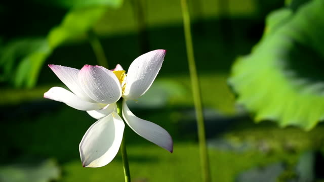 Lotus flower and leaves in wind video
