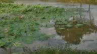 Lotus flower and Lotus flower plants video