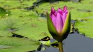 lotus flower blooming timelapse at lake video
