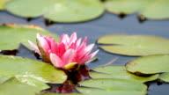 Lotus flower blossom video