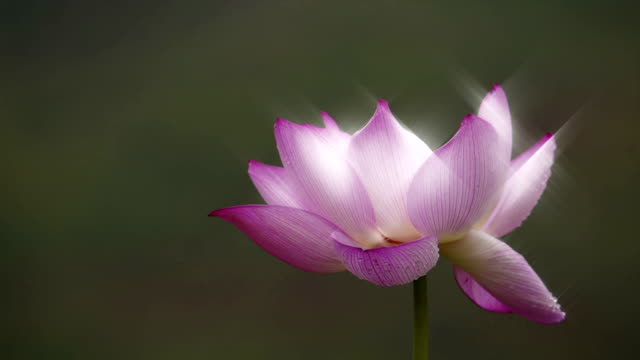 Lotus flower glittered with water drops in the morning video