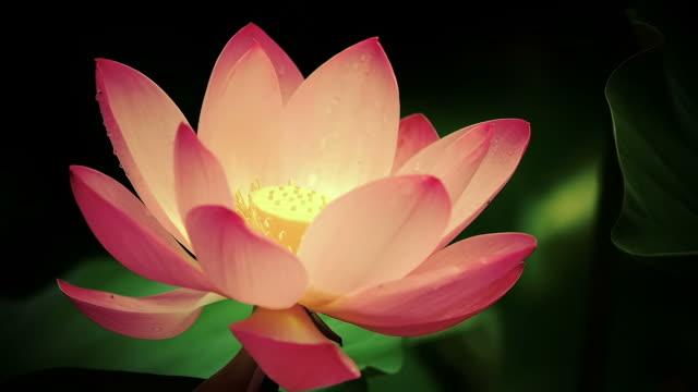 Lotus (water lily) flower in gentle breeze video