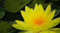 Lotus flower in pond video