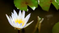 Lotus Flower in the pond video