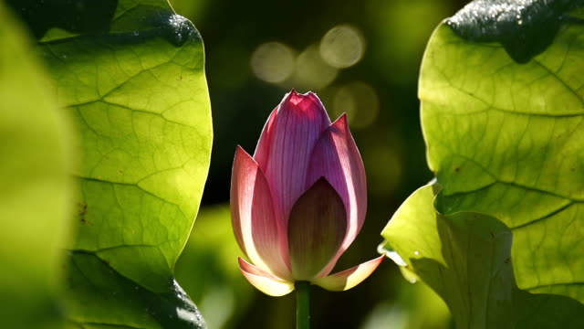 Lotus flower just budding in the pond HD Video video