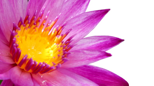 Lotus flower on isolated white background video