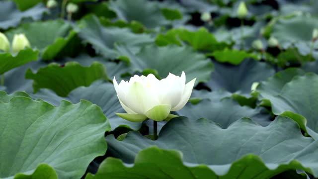 Lotus flower video