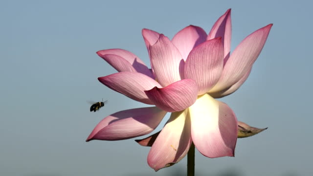 Lotus flower with bee pollination in the pond HD Video video