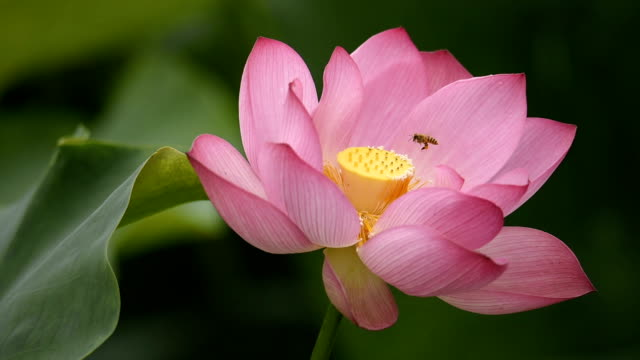 Lotus flower with bee pollination in the wind video
