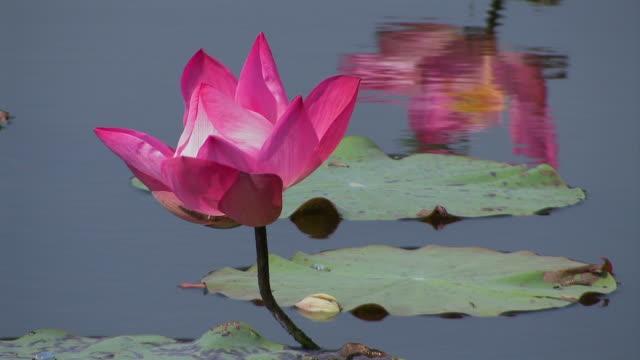 Lotus flower_Lotusbluete video