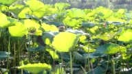 Lotus leaf video