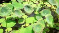 Lotus leaf. video