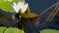 Lotus Lily Flower video