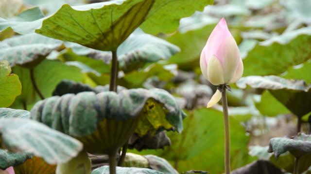 Lotus pond video