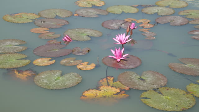 Lotus pond video