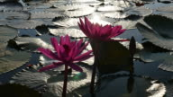 Lotus reflecting sunlight in the morning. video