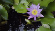 CU Lotus Tracking Shot. video