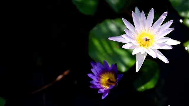 2 Lotus video
