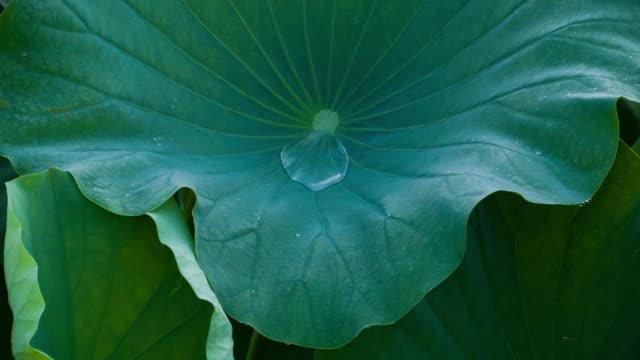 Lotus #003 video