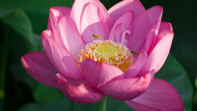 Lotus #004 video