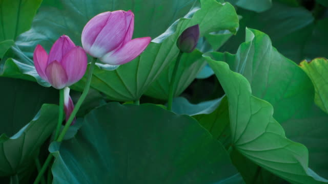 Lotus #006 video