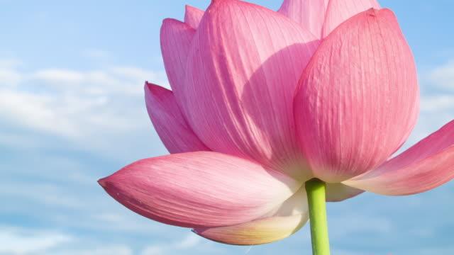 Lotus #012 video