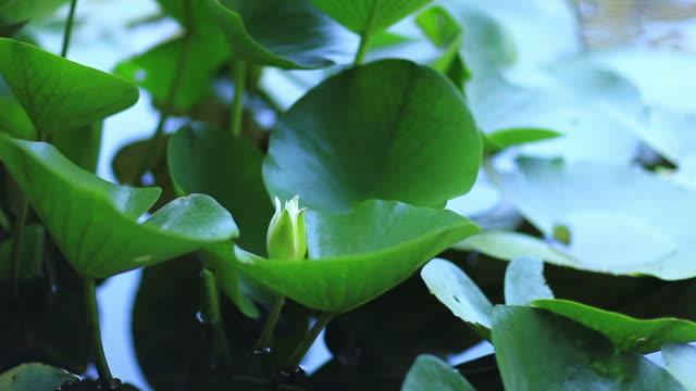 HD: Lotuses & water lilies video