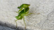 love making Praying Mantis couple video