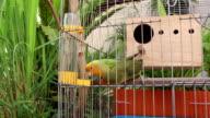 lovebird eating water video